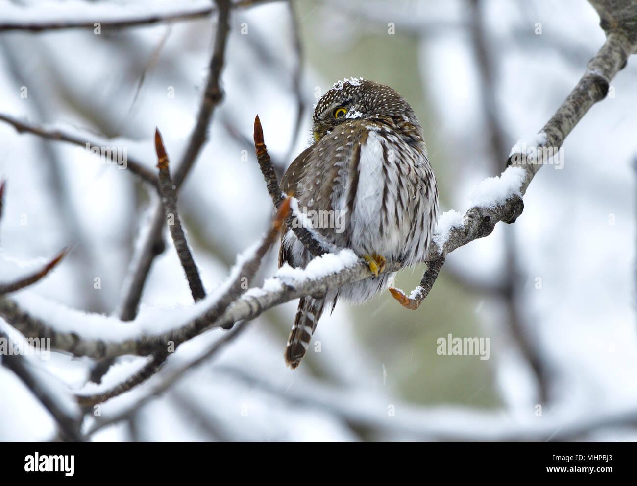Eine kleine Nördliche Sperlingskauz (Glaucidium gnoma) auf eine Zweigniederlassung einer Pappel während eines Frühling Schnee Sturm in ländlichen Alberta Kanada über seine Suche gehockt Stockbild