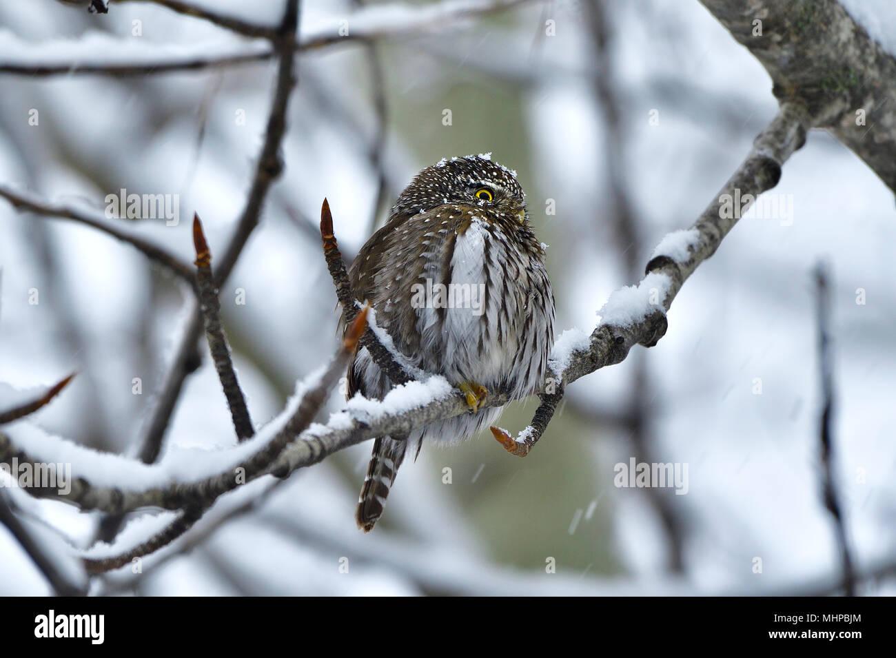 Eine kleine Nördliche Sperlingskauz (Glaucidium gnoma) auf eine Zweigniederlassung einer Pappel während eines Frühling Schnee Sturm in ländlichen Alberta Kanada gehockt Stockbild