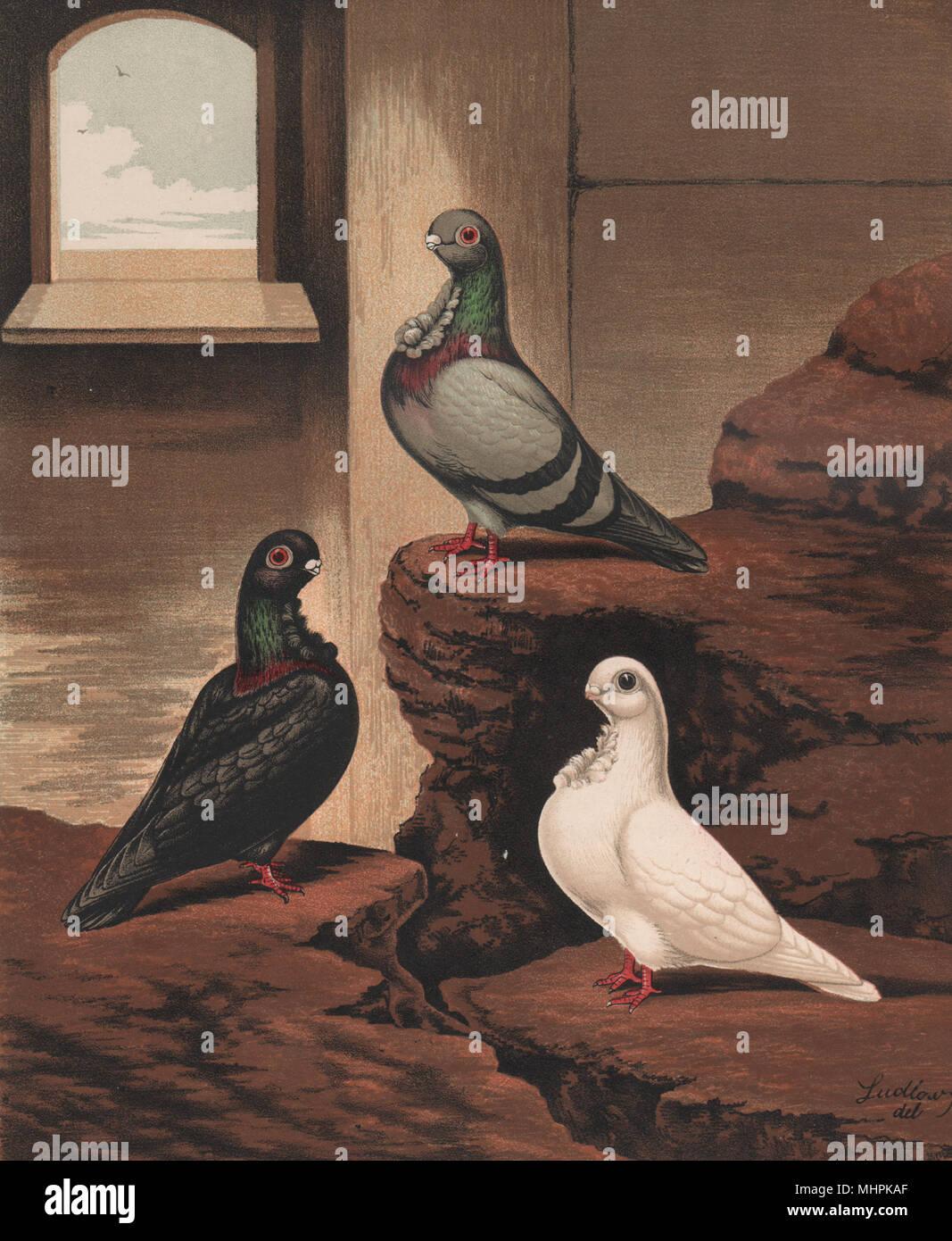 Tauben. Afrikanische Strauße. Blau, Schwarz, und Weiß. Antike chromolithograph 1880 Stockbild