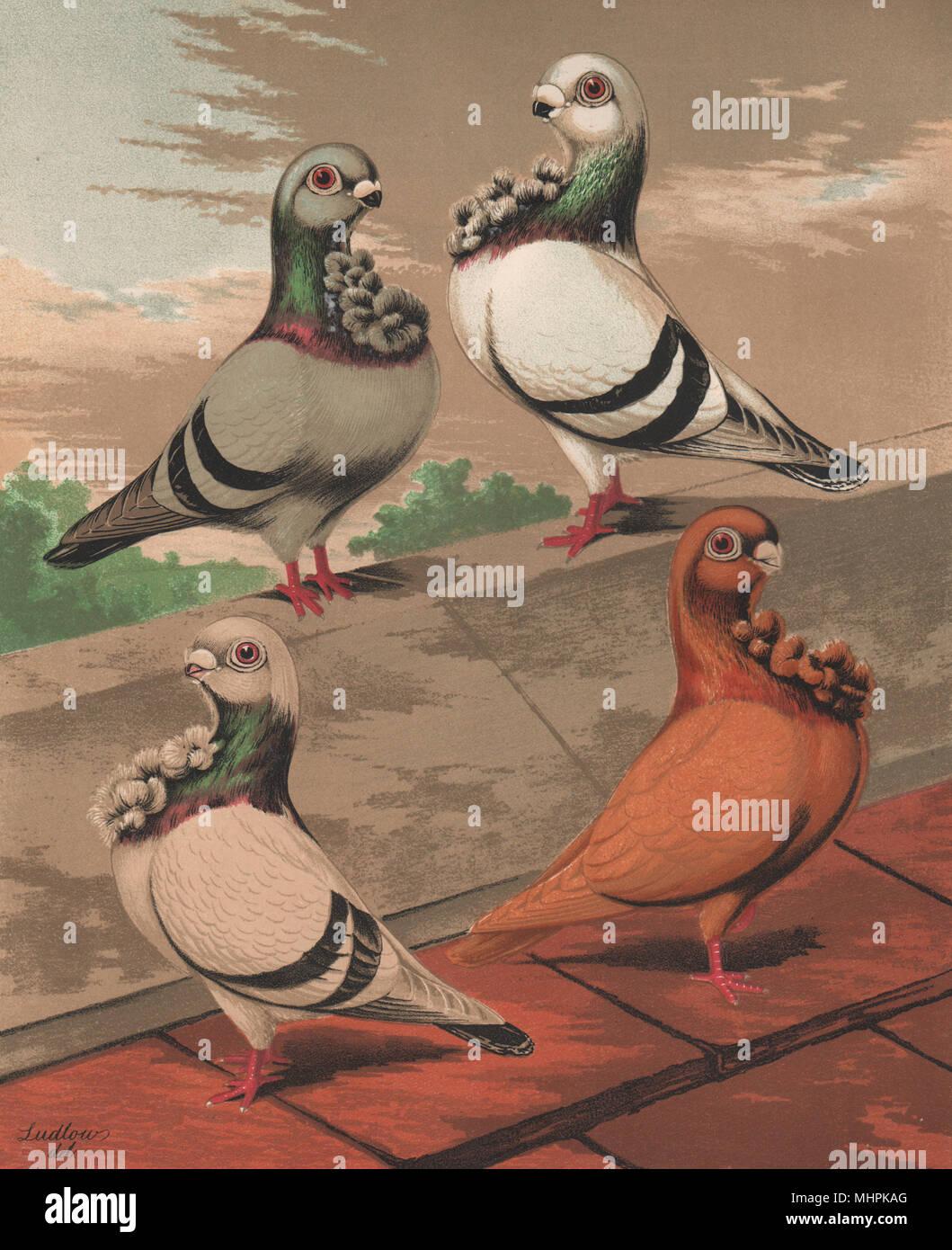 Tauben. Englisch Eulen; Blau Silber, gepudert Blau Gelb. 1880 Chromolithograph Stockbild