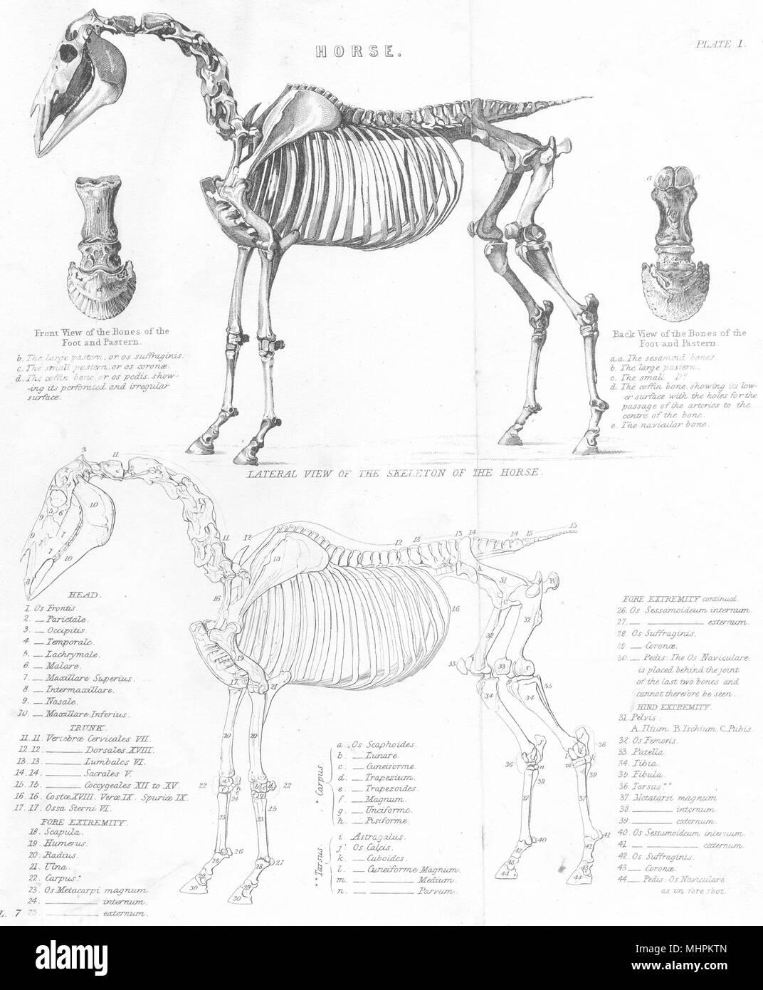 Anatomie. Pferd, seitlicher Blick auf das Skelett des Pferdes 1880 ...
