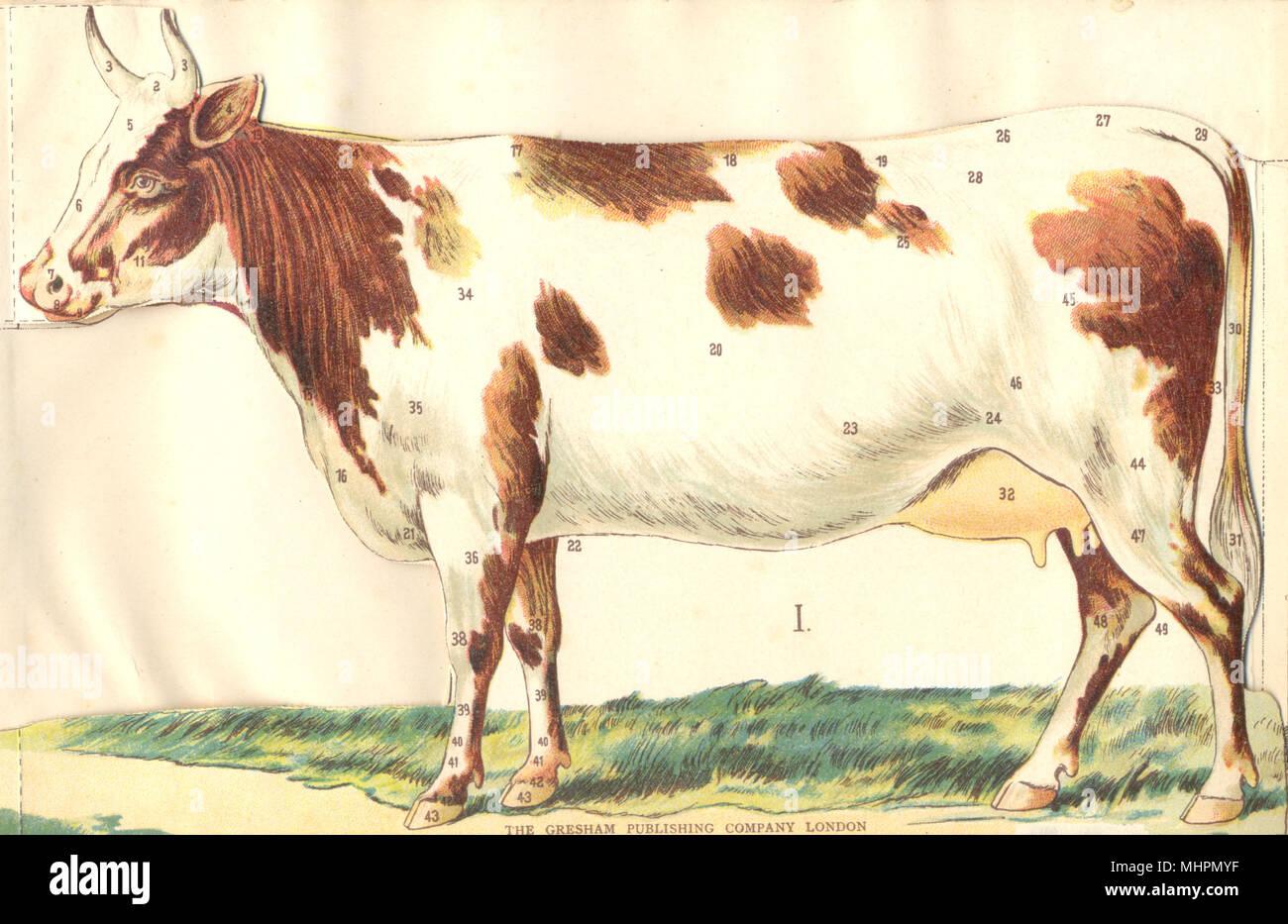 Berühmt Kuh Auge Anatomie Bilder - Physiologie Von Menschlichen ...