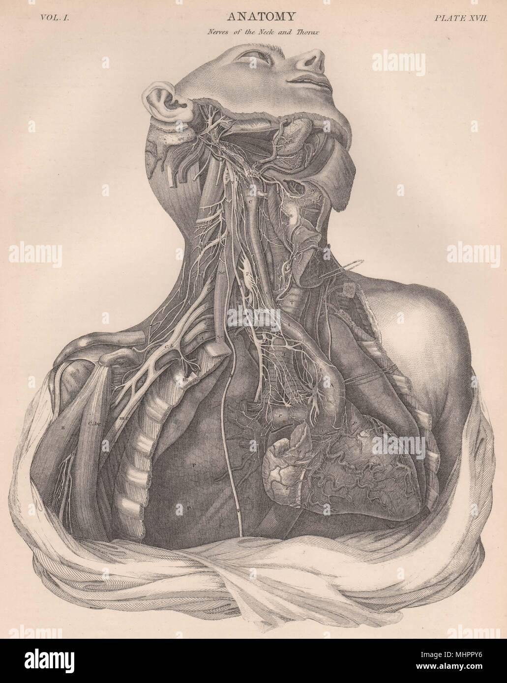Die menschliche Anatomie. Die Nerven der Hals und Thorax 1898 alte ...