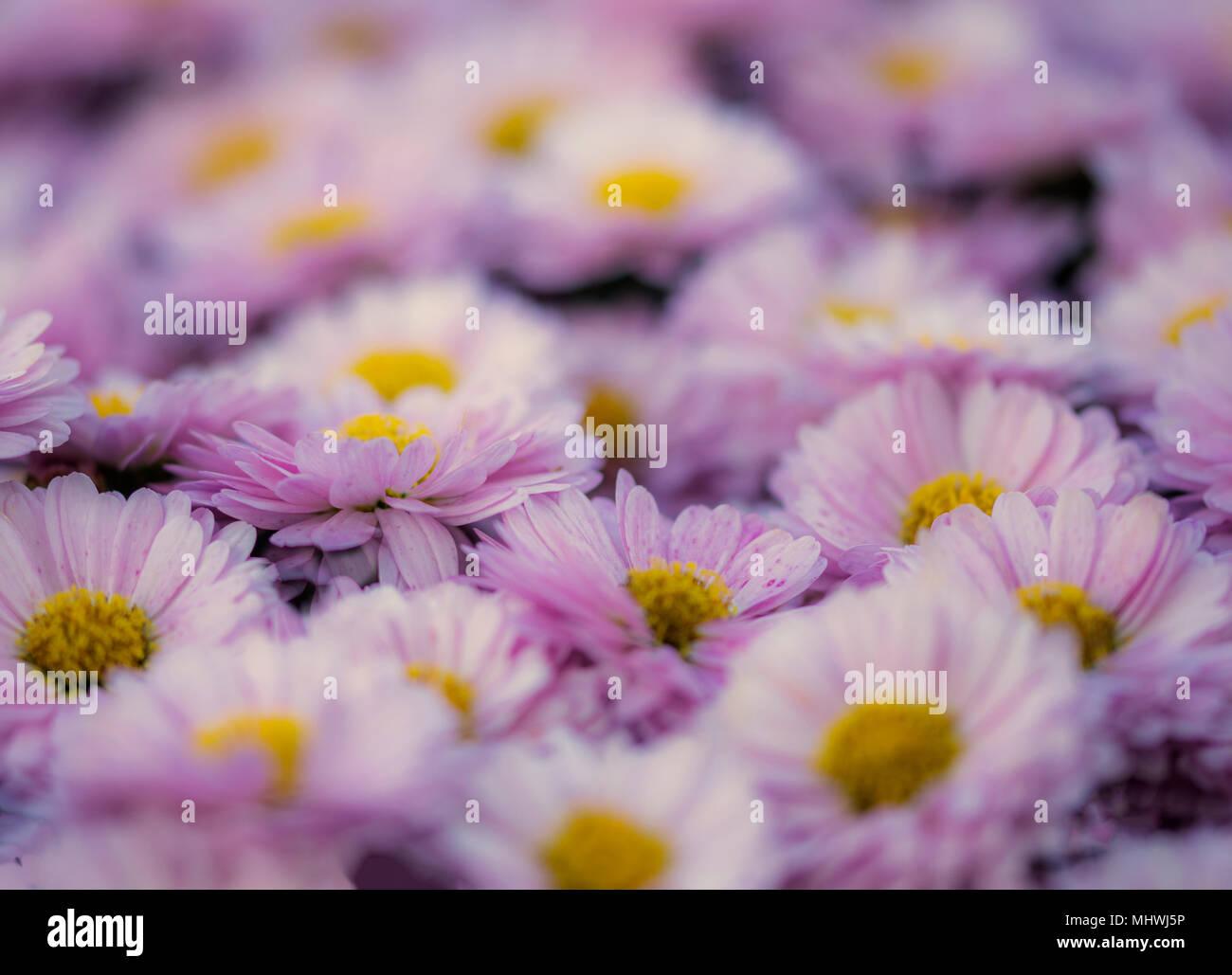 Rosa Daisys mit einer breiten Blende genommen Stockbild