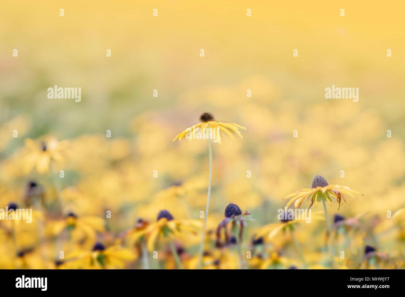 Meer von gelben Blüten mit einem ständigen über den Rest, Makro Foto so Soft Focus Stockbild