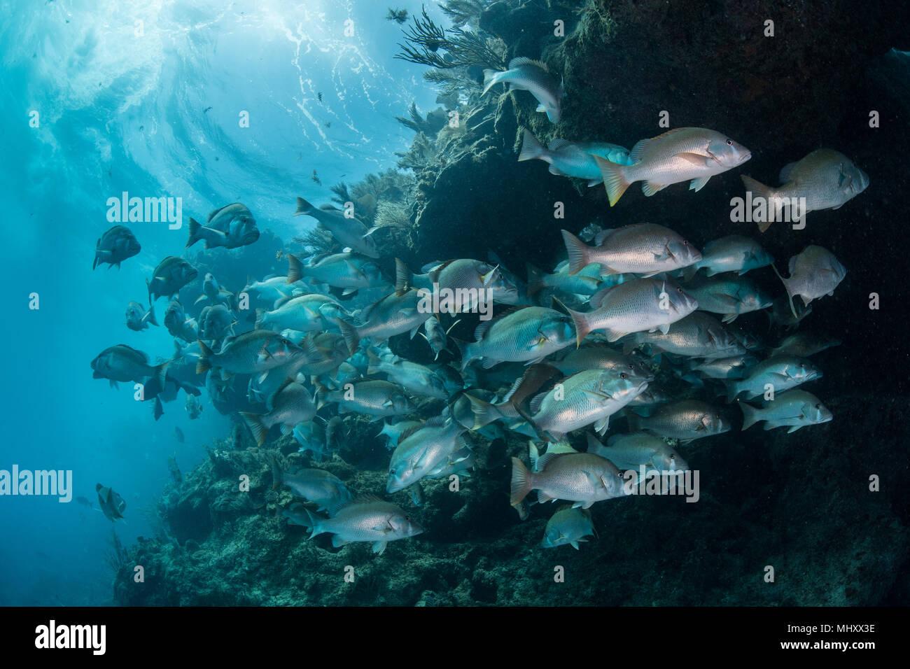 Unterwasser Schuß von Red Snapper shoal sammeln, um sich zu paaren, Quintana Roo, Mexiko Stockbild