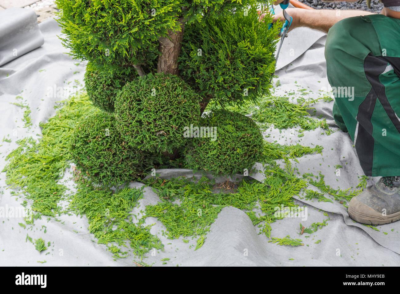 Kleines Leben Baume Oder Thuja Schneiden In Form Auf Einer Wiese