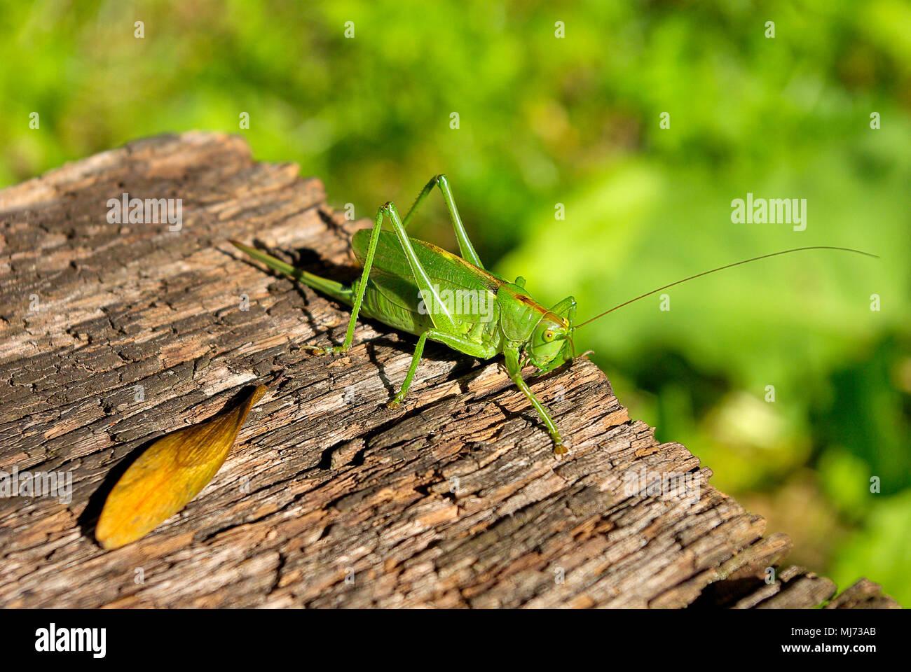 Frau Busch cricket Arten (Tettigonia) auf einem Stück verwittertes Holz. Stockfoto