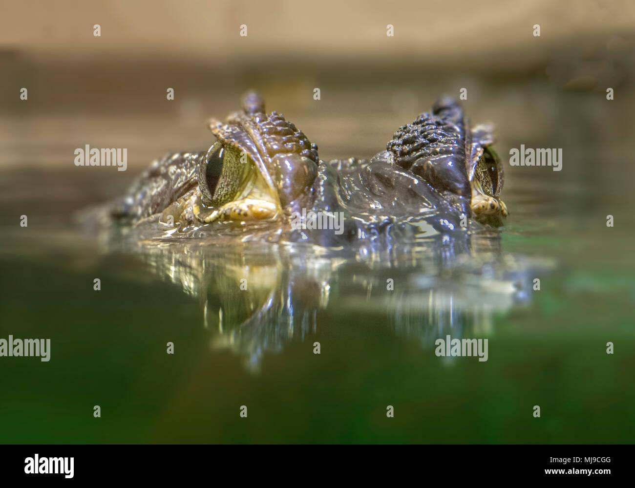 Krokodil Augen an Kamera Stockfoto
