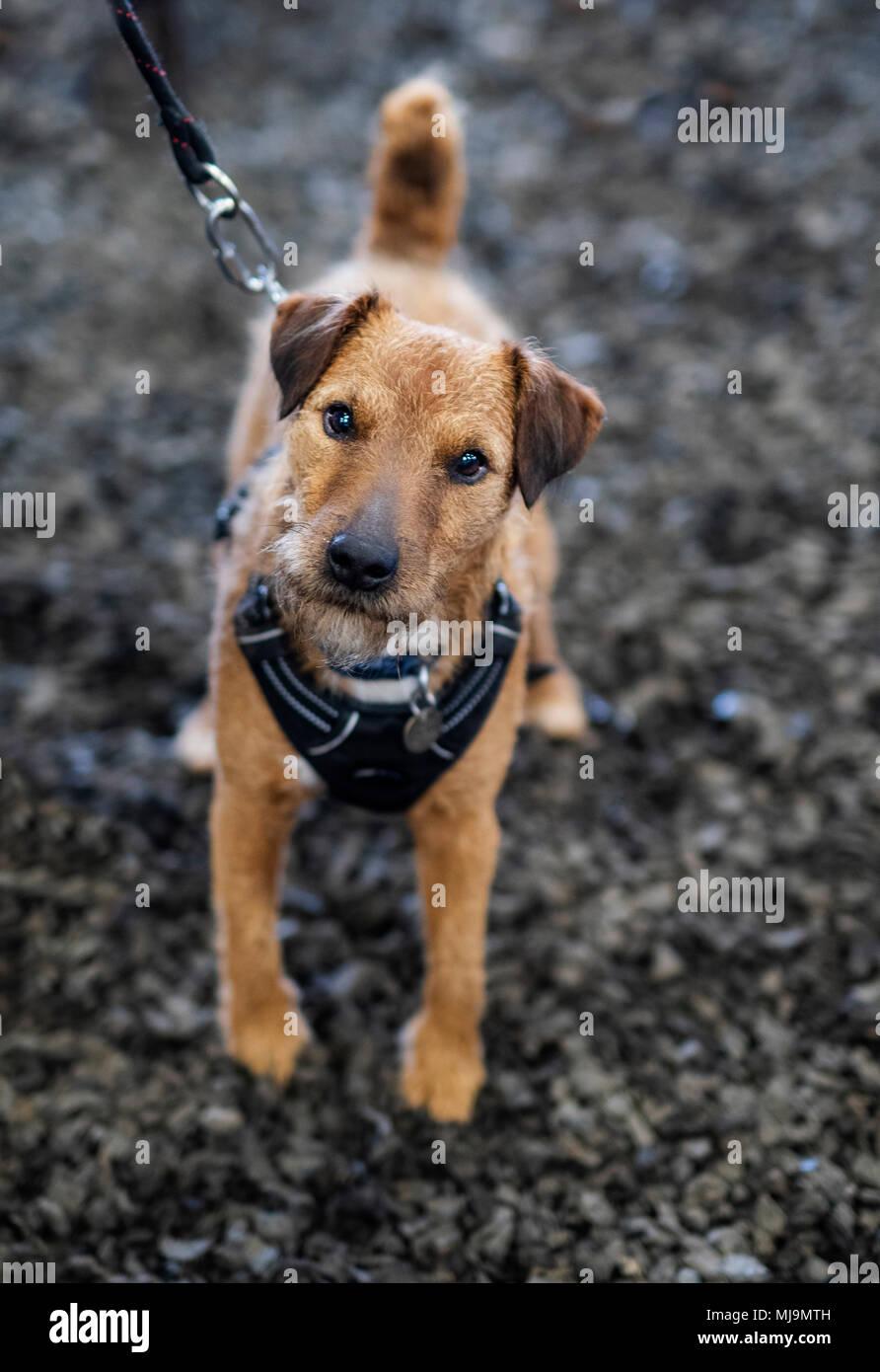 Süße kleine Terrier für Fotos posiert Stockbild