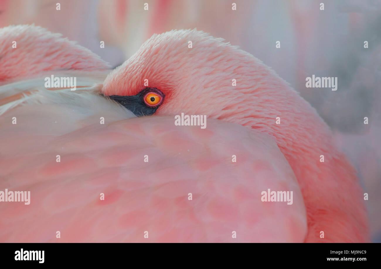 Flamingo mit Kopf in versteckt Stockbild