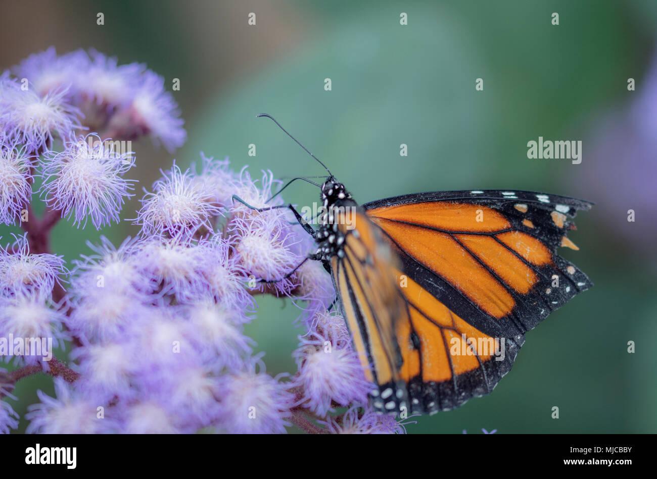 Schöne Monarch Butterly auf einem Buddlea Bush Stockbild