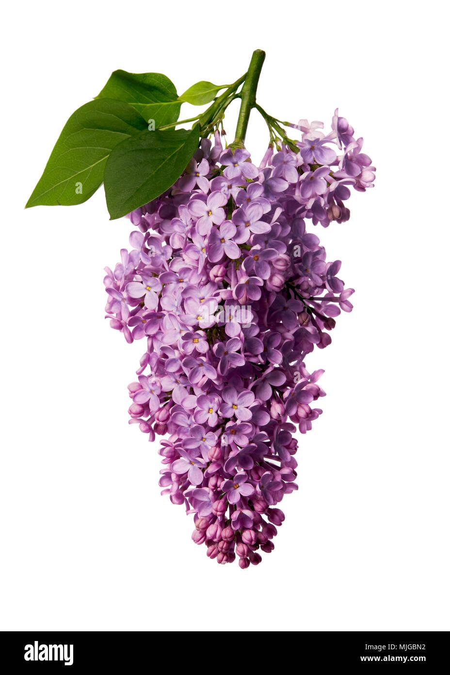 Syringa vulgaris, Lila. Lila Lila Blumen auf weißem Hintergrund. Stockbild