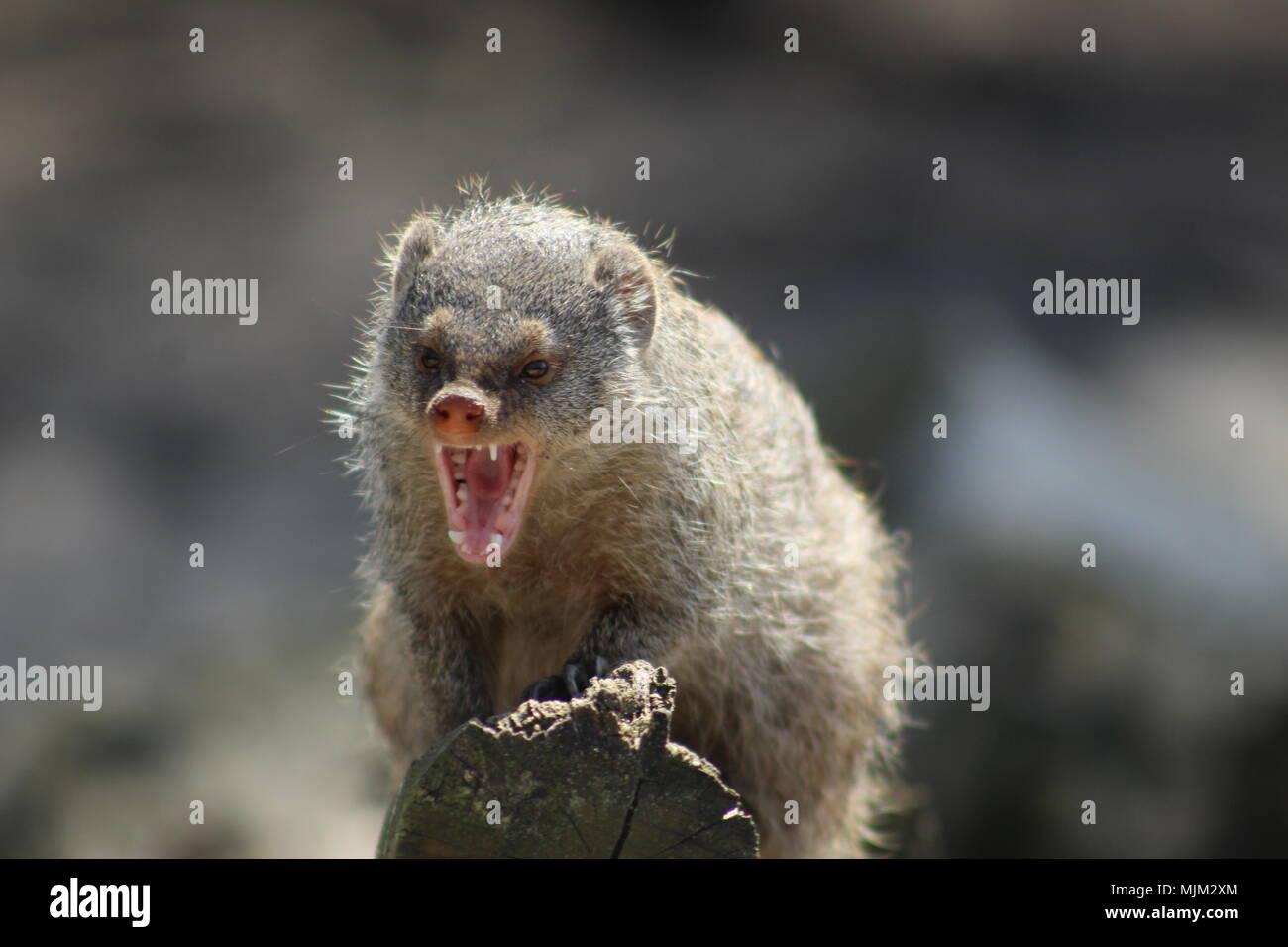 Schreiendes Tier Stockfotos Schreiendes Tier Bilder Alamy