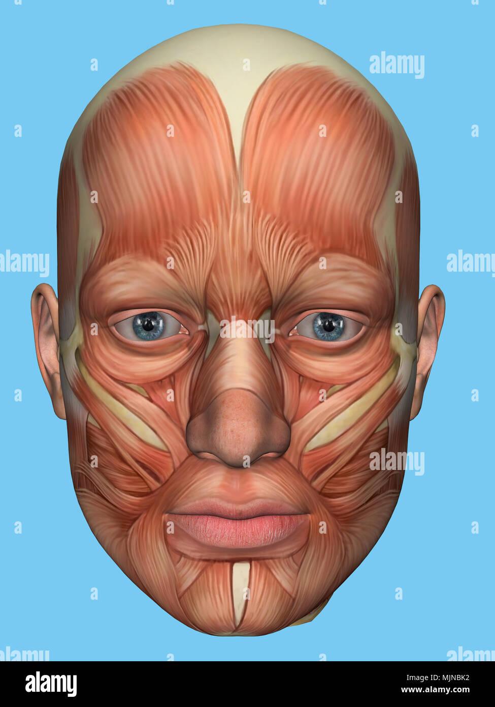 Anatomie Vorderansicht des großen Gesicht Muskeln eines Menschen ...
