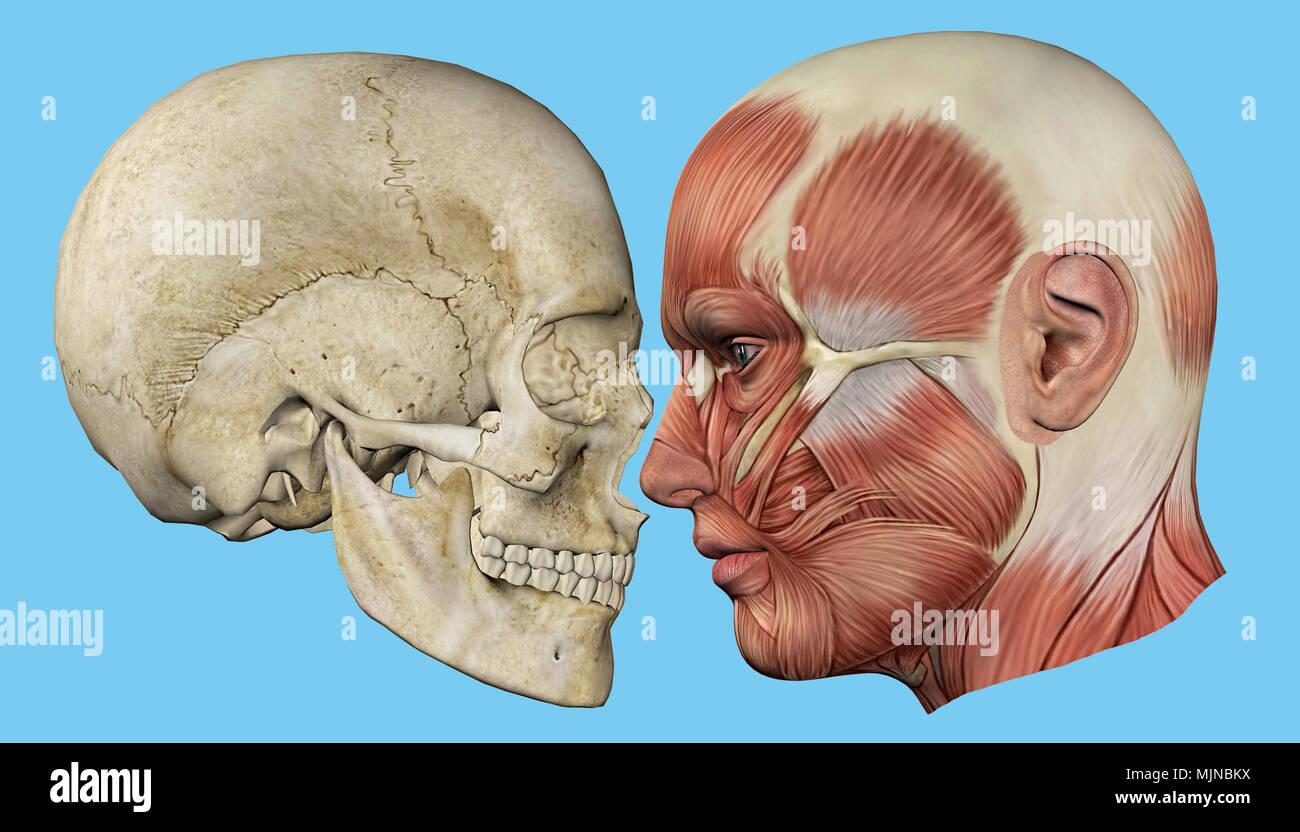 Tolle Gesicht Gefäßanatomie Bilder - Anatomie Von Menschlichen ...