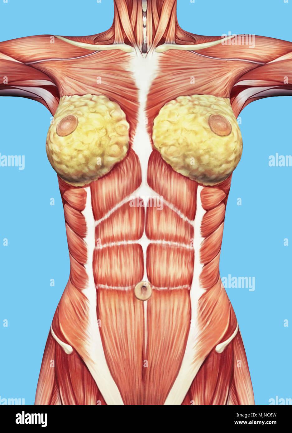 Anatomie der weiblichen Brust und Oberkörper mit großen muskulösen ...