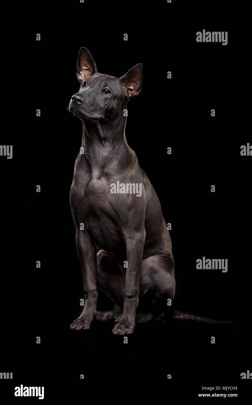 Schöne Schwarze Thai Ridgeback Welpe Hund Mit Super Kurze