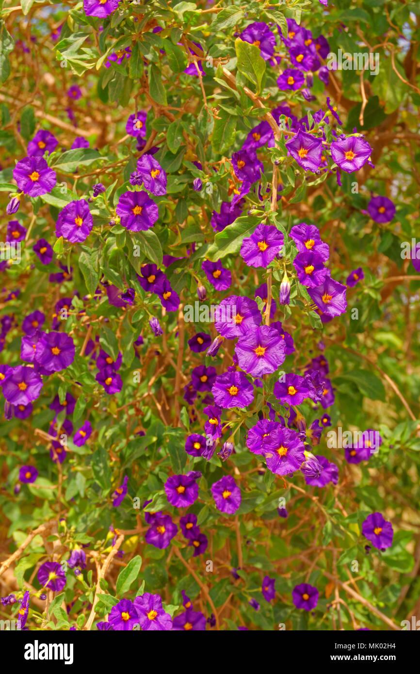Solanum Rantonnetii oder 'königliche Robe' immergrüner Strauch mit lila Blüten. Im Mittelmeerraum und Frost vertragen, gefunden. Stockbild