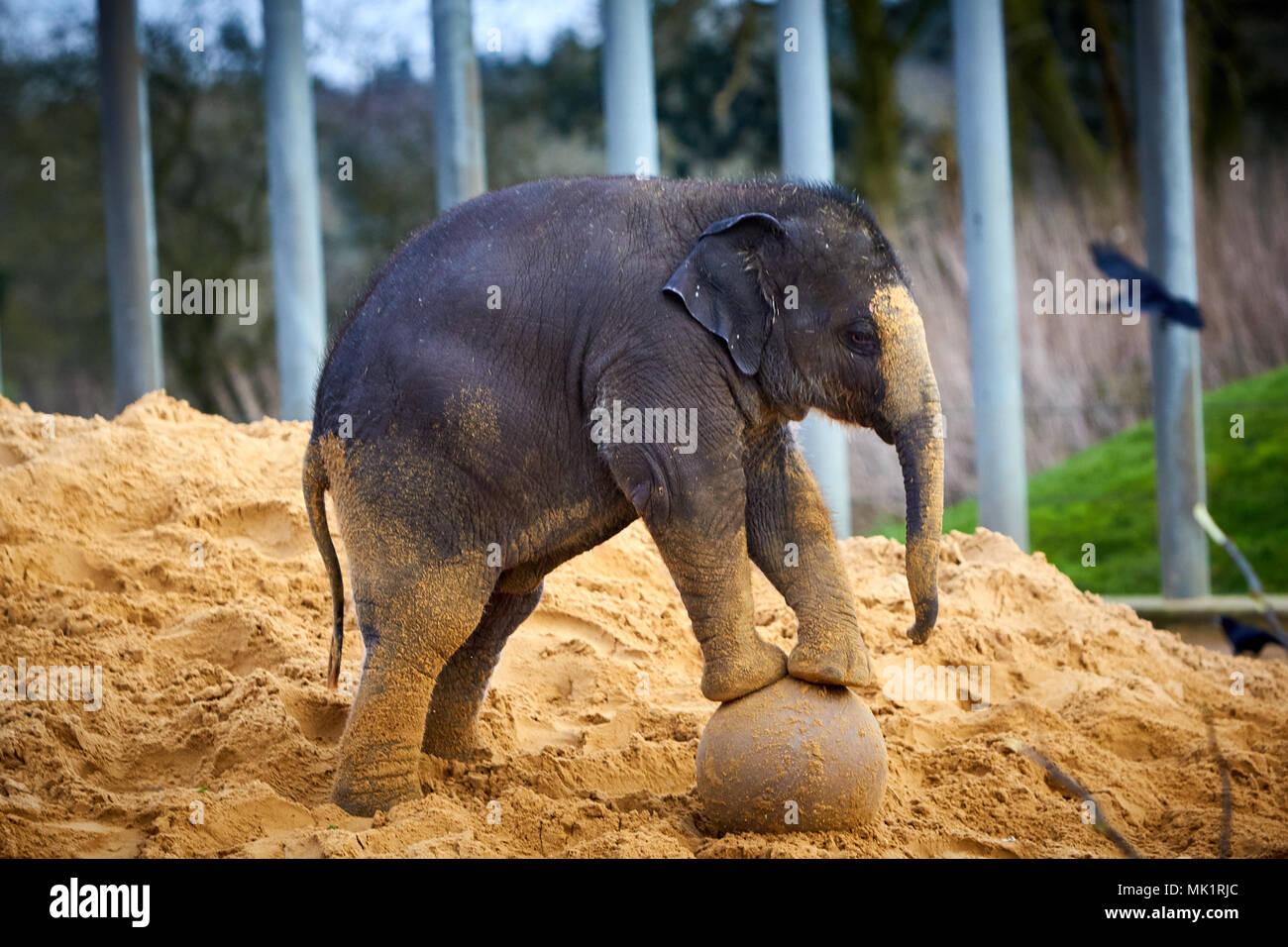 Ein Baby Asiatischen Elefanten während der jährlichen tierische Inventur im ZSL Whipsnade Zoo Stockbild