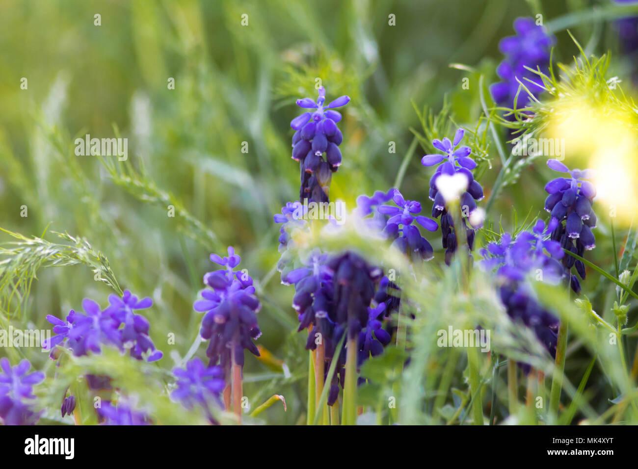 Blühende Pflanze Lavendel Hohes Gras Stockfoto Bild 183891116 Alamy
