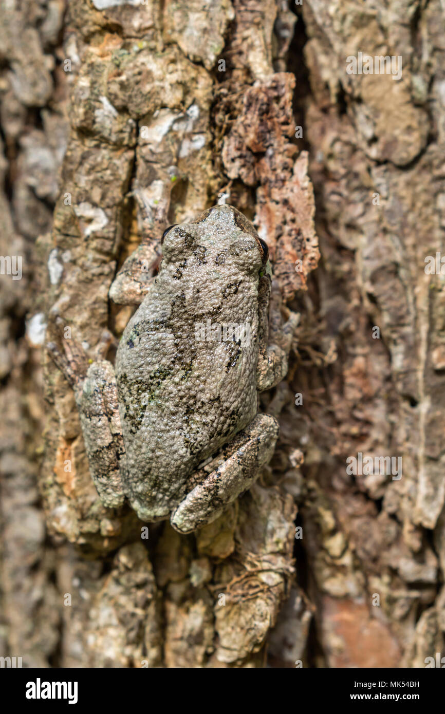 Grau treefrog (Hyla versicolor) Tarnung auf der Rinde von Ulme, Iowa, USA. Stockbild