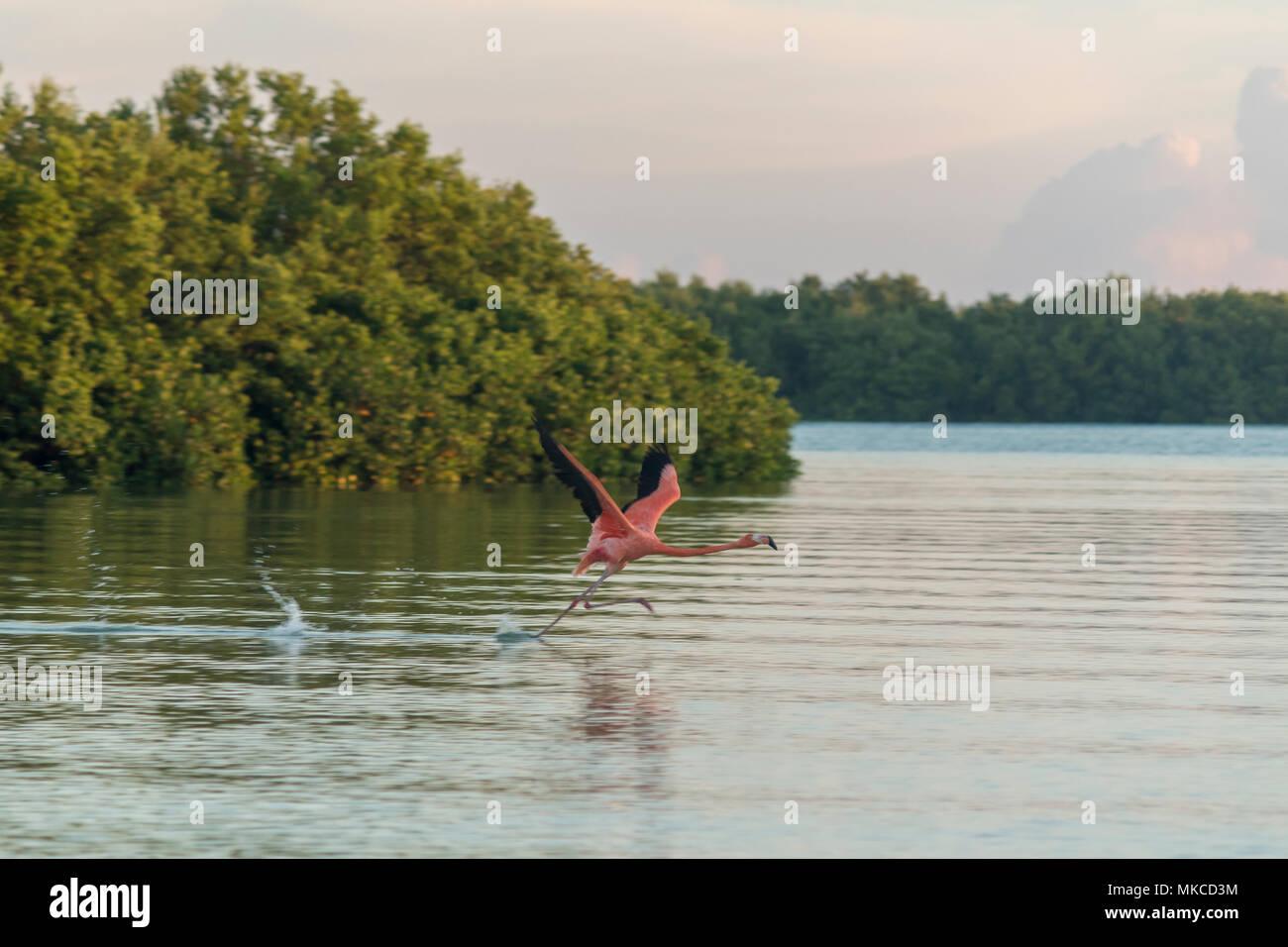 Rosa Flamingos Familie in der Morgendämmerung, die Sie sammeln, bevor Sie Ihren Tag in den Fluss zu starten Stockbild