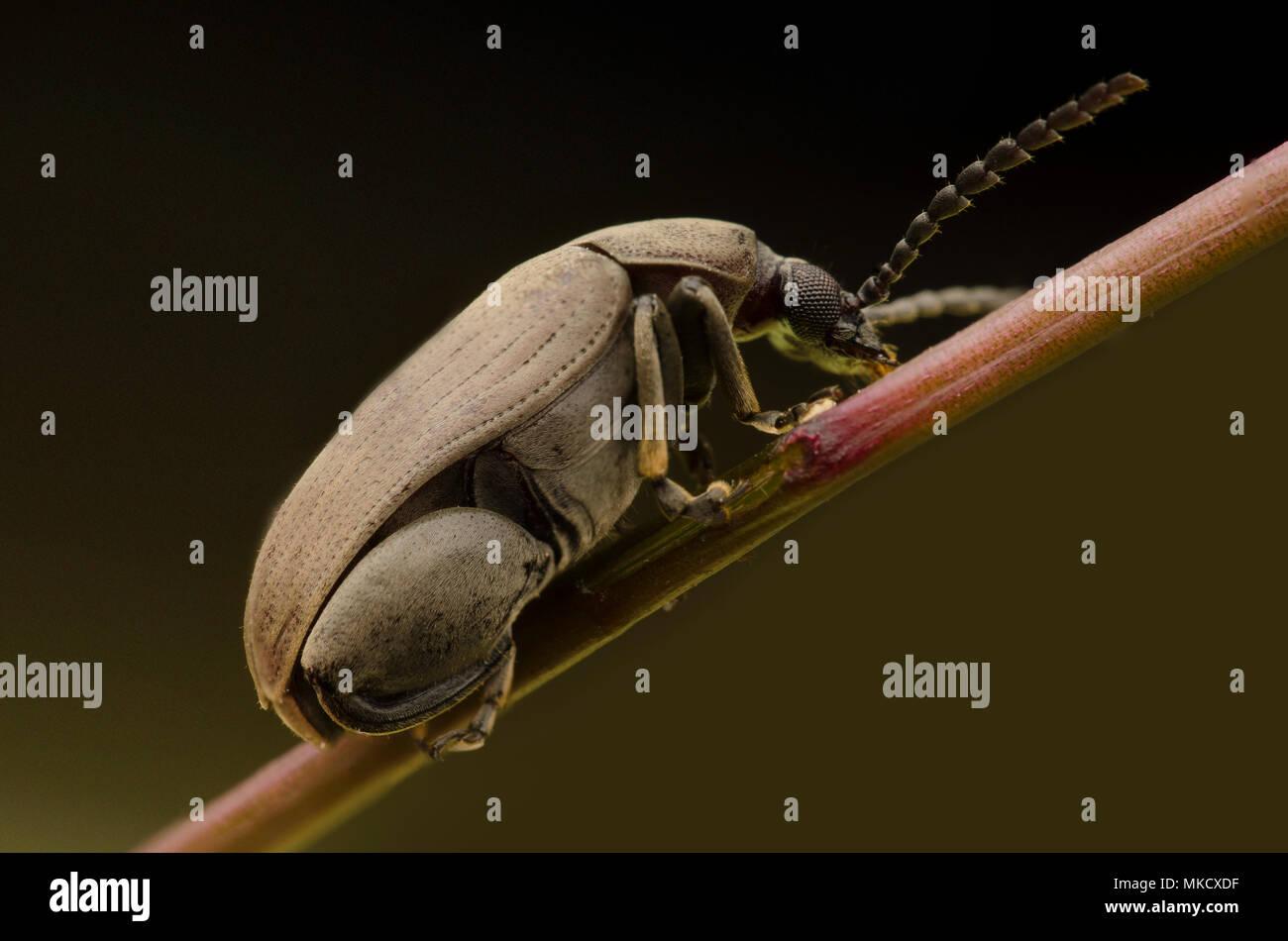 Chrysomelidae Stockbild