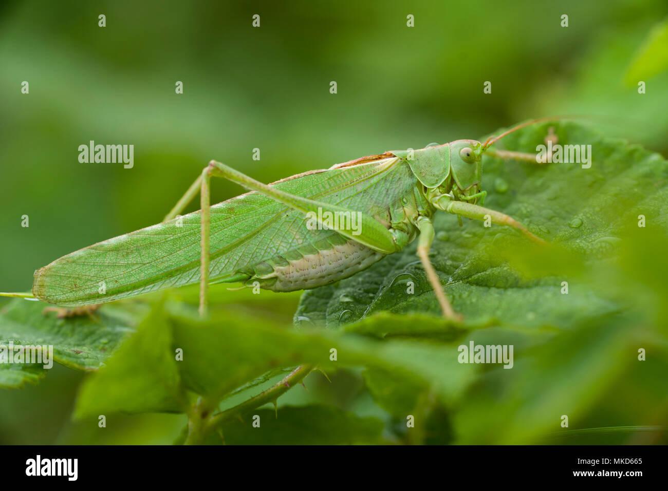 Super Green Bush - Kricket weiblich (Tettigonia Viridissima) auf einem Blatt von Brombeere (Rubus fructicosus), Entre-deux-Mers, Gironde, Aquitaine, Frankreich. Stockfoto