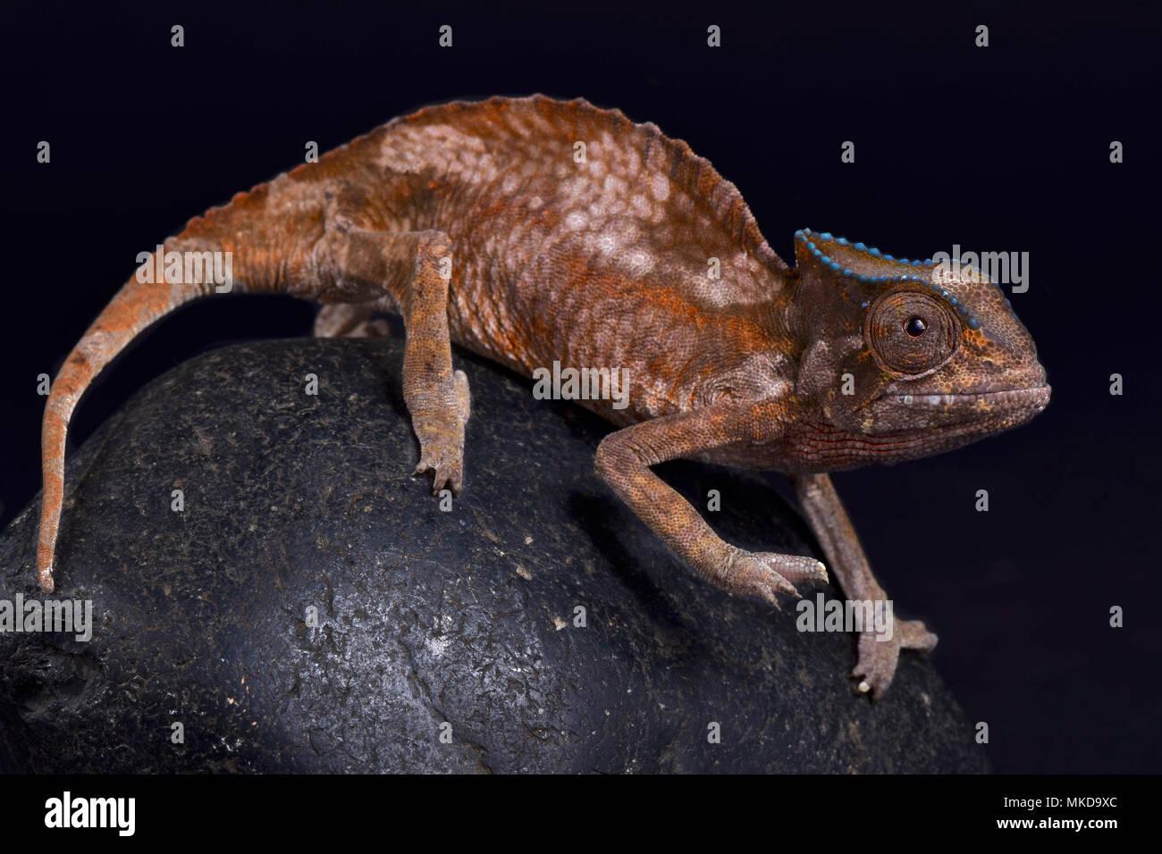 Crested Chameleon (Trioceros cristatus) auf schwarzem Hintergrund Stockbild