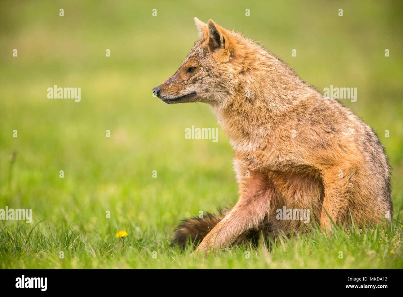 Europäische Schakal (Canis aureus moreoticus), Donaudelta, Rumänien Stockfoto