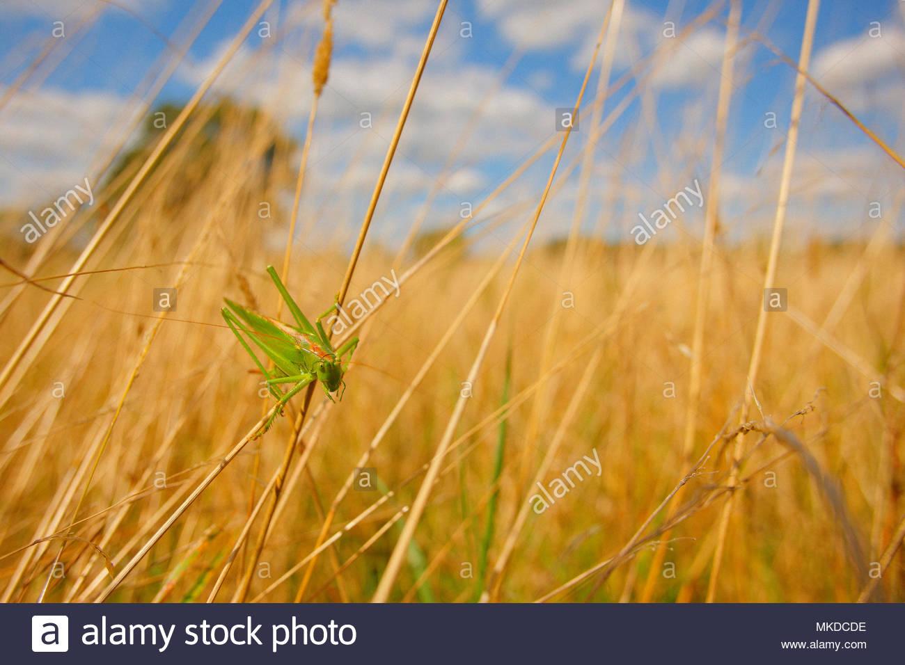 Super Green Bush - Kricket (Tettigonia Viridissima) stehen auf Gras halme auf einer Wiese, im Sommer, im August, Ile-de-France. Alluvial Wiese in der Oise Tal - natürliche Ort durch das Conservatoire de Picardie natürliche Bereiche geschützt. Stockbild