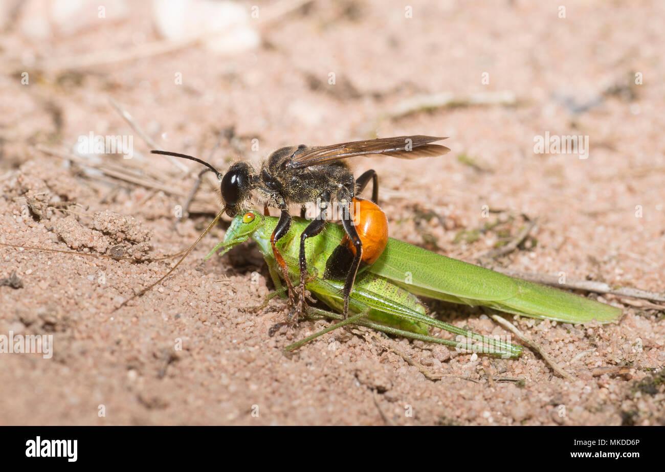 Golden digger Wasp (Sphex funerarius) Berichterstattung eine Sichel - Lagerbuchse Cricket (Phaneroptera falcata) in seiner Galerie, Regionaler Naturpark der nördlichen Vogesen, Frankreich Stockbild