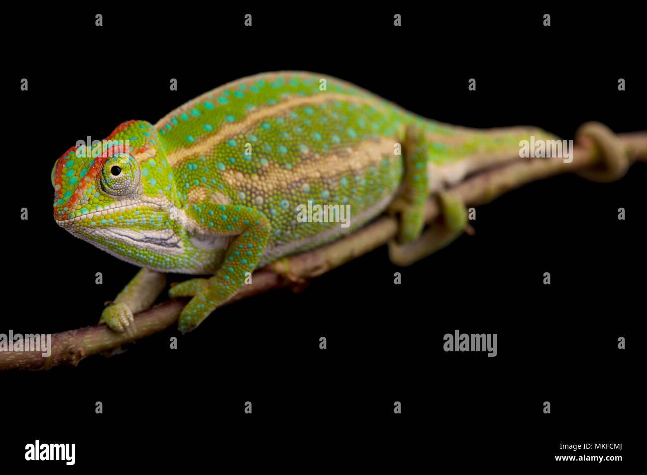 Jeweled Chameleon (Furcifer campani) auf schwarzem Hintergrund Stockbild