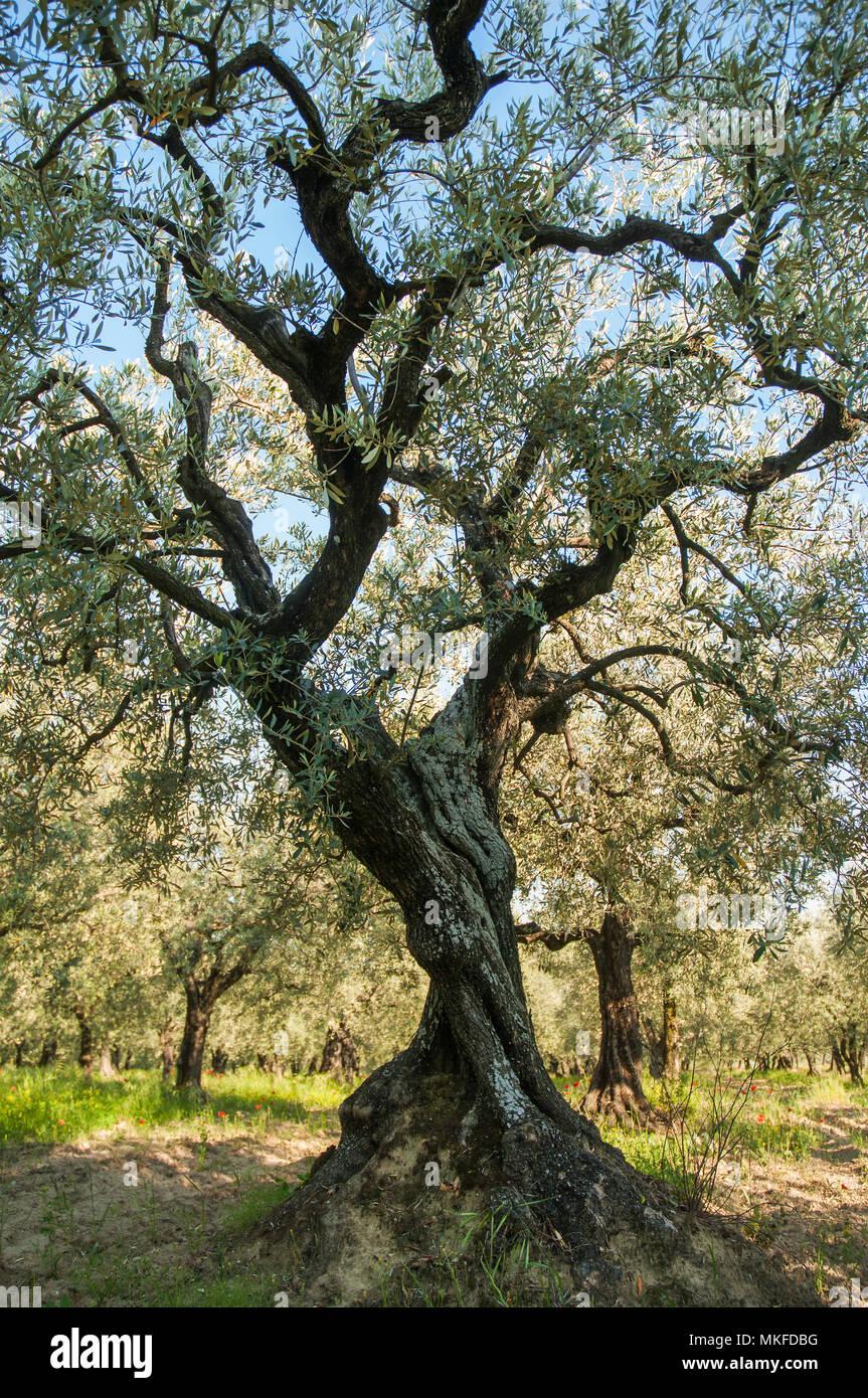 100-jährigen Olivenbaum (Olea europaea) in einer Plantage in Drome provencale, Rhône-Alpes, Frankreich Stockfoto