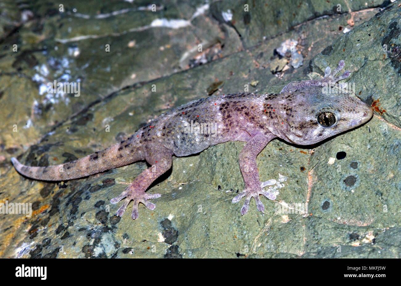 Boettger der Wall Gecko (Tarentola boettgeri). Naturschutzgebiet, Savage Islands oder Selvagens Islands (Portugiesisch: Ilhas Selvagens). Madeira, Portugal Inseln. Makaronesien. Stockbild