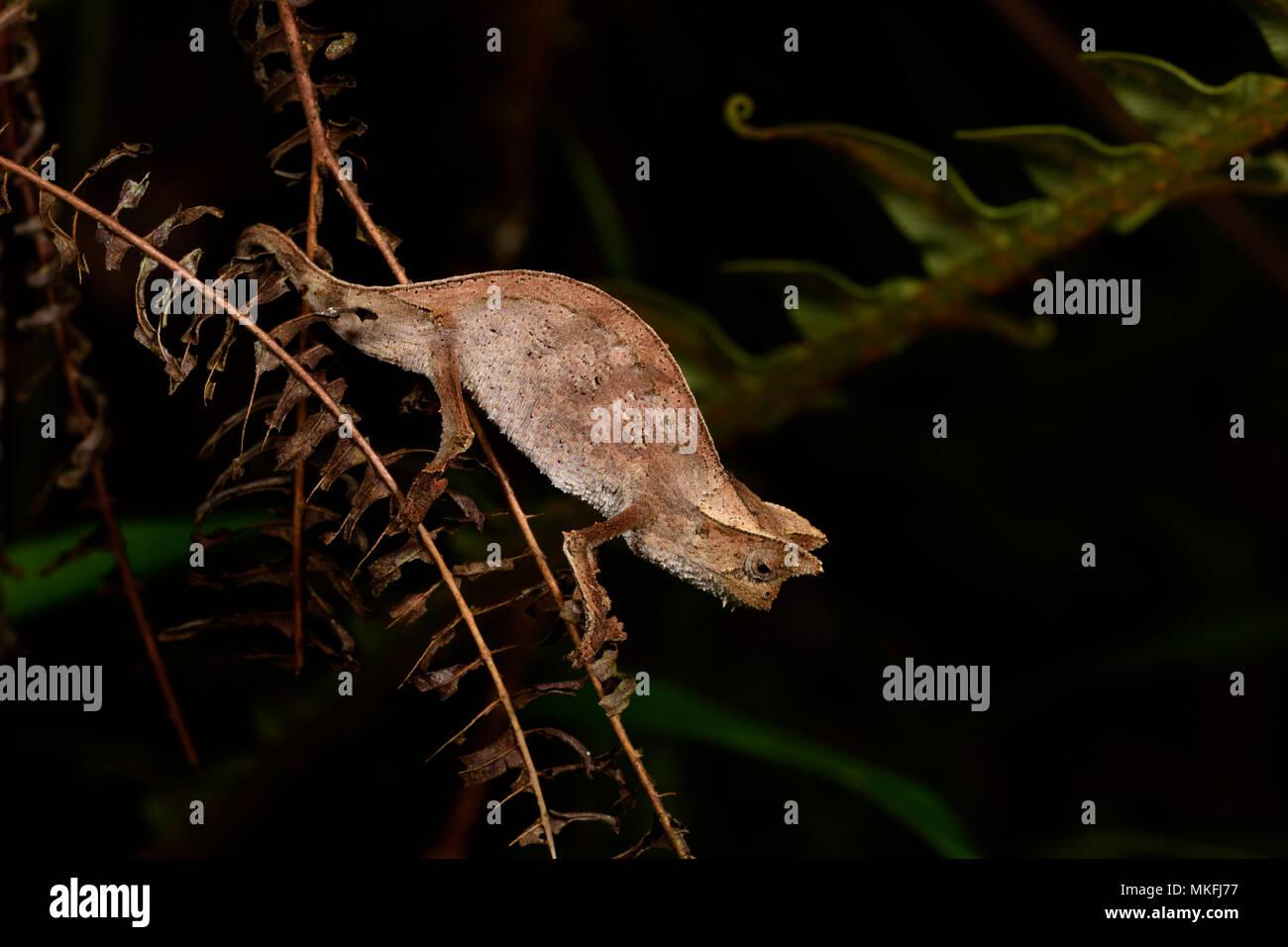 Braun Blatt Chamäleon oder gehörnte Blatt Chameleon (Brookesia superciliaris), Andasibe, Perinet, Alaotra-Mangoro Region, Madagaskar Stockbild