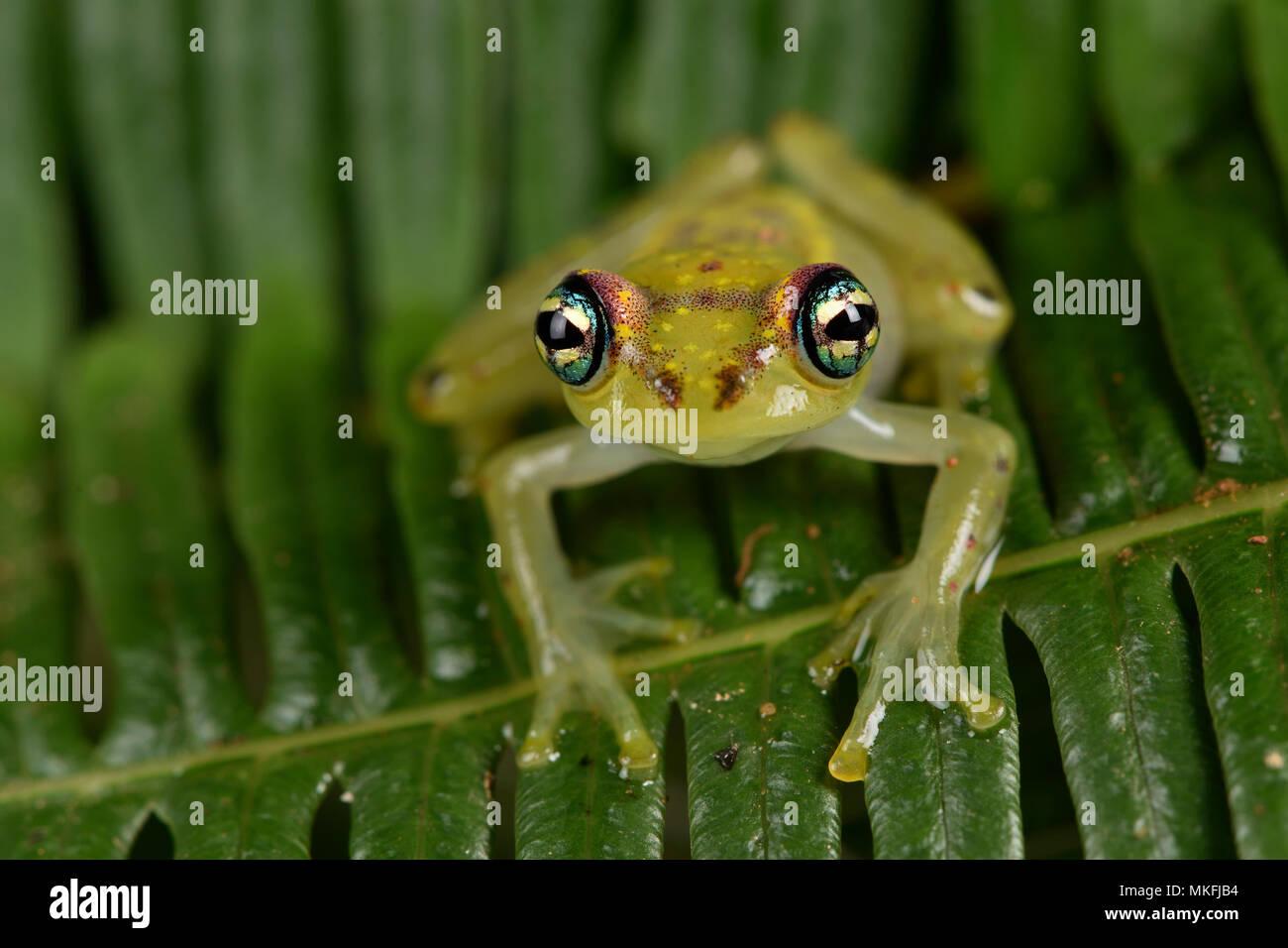 Zentrale Bright-eyed Frog (Boophis rappiodes), Andasibe, Perinet, Alaotra-Mangoro Region, Madagaskar Stockbild