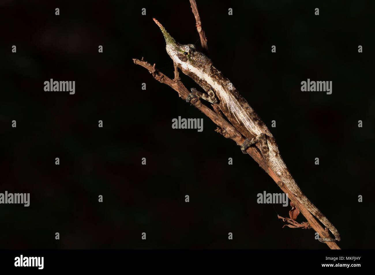 Lance - gerochen Chameleon (Calumma gallus) männlichen auf einem Zweig, Andasibe, Perinet, Alaotra-Mangoro Region, Madagaskar Stockbild
