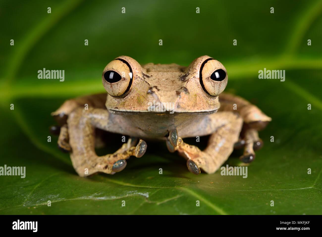 Mit leuchtenden Augen Frosch (Boophis entingae), Andasibe, Perinet, Alaotra-Mangoro Region, Madagaskar Stockbild