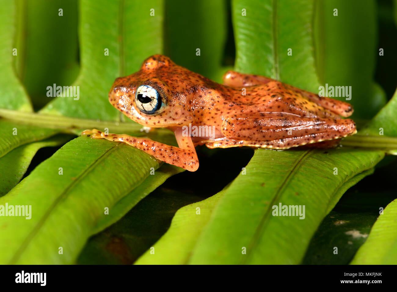 Fiery Bright-eyed Frog (Boophis pyrrhus), Andasibe, Perinet, Region Alaotra-Mangoro, Madagaskar Stockbild