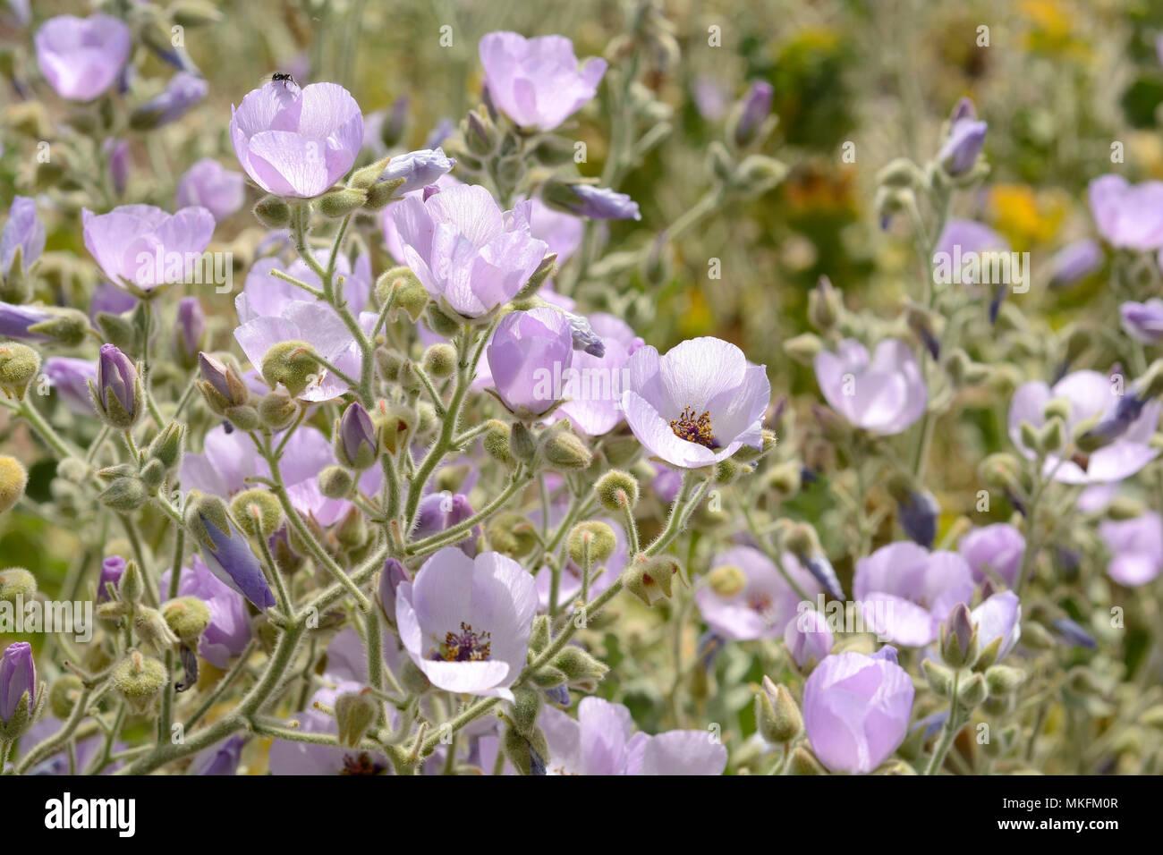Glaucophylla Malvilla (Malvaceae), Malvaceae endemisch in Chile, die Blüte im Frühjahr, Tongoy, IV Region von Coquimbo, Chile Stockbild
