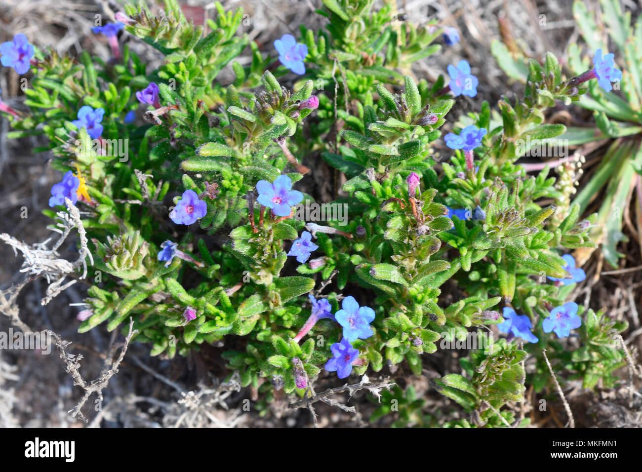 Lithodora Gromwell (Prostata) Blumen, Portugal Stockbild