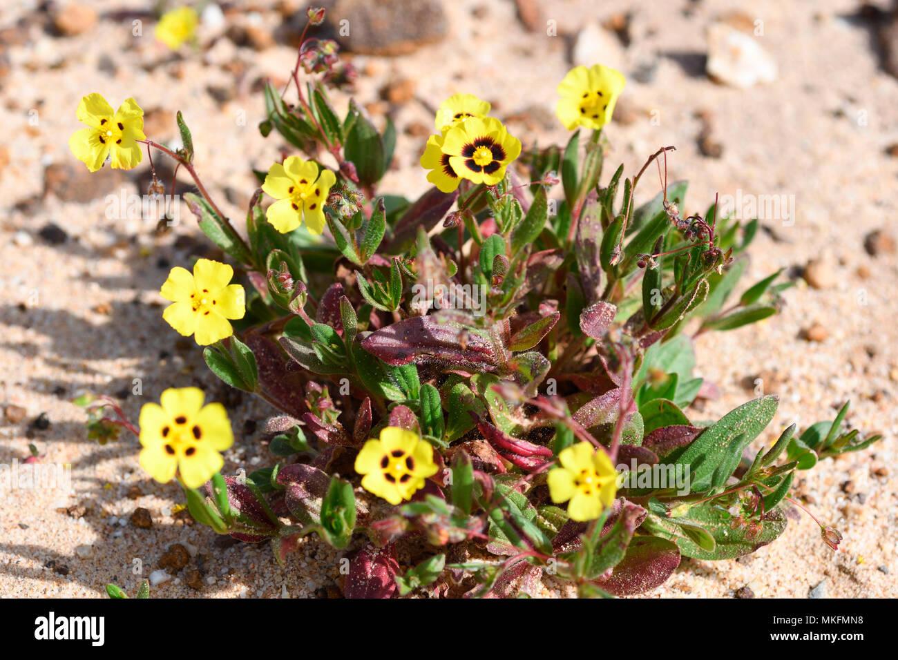 Europäischen frostweed (Tuberaria guttata) Stockbild