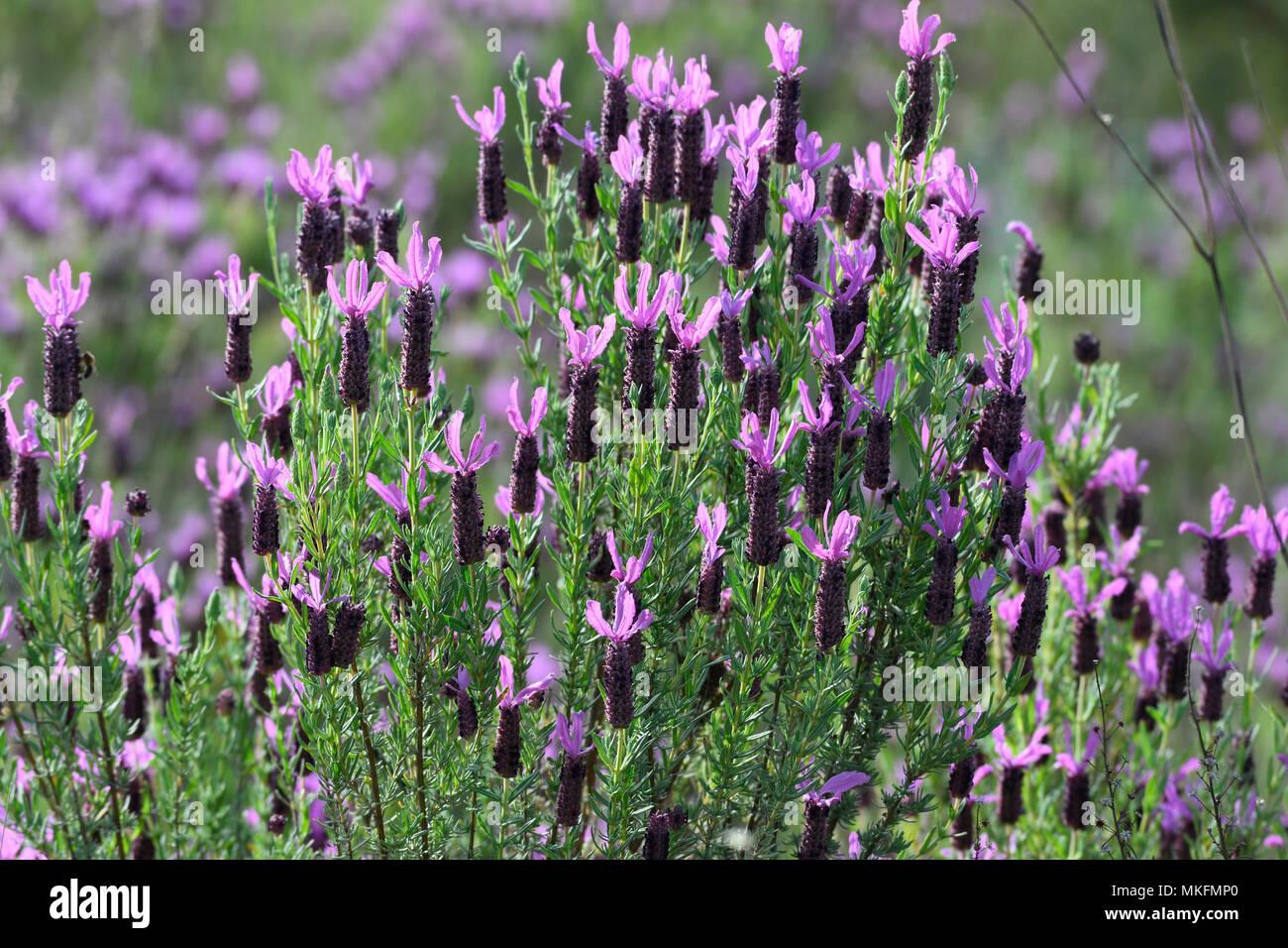 Schmetterling Lavendel (Lavandula stoechas), Portugal Stockbild