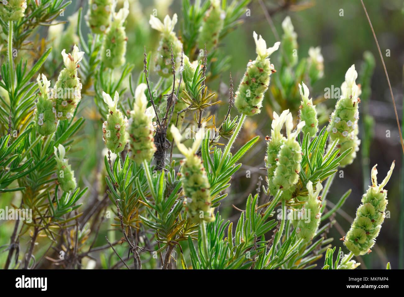 Gelb Lavendel (Lavandula viridis), Portugal Stockbild