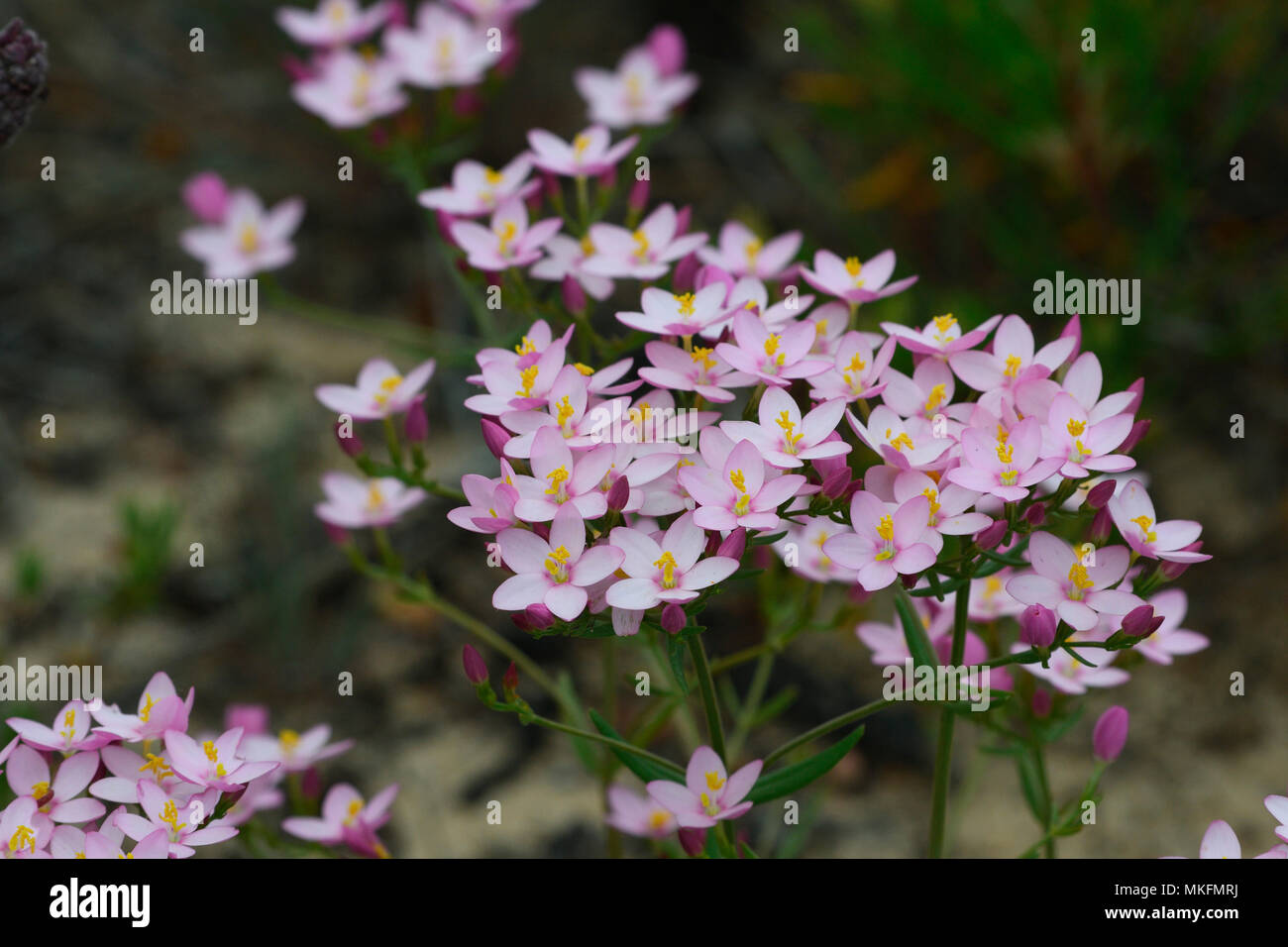 Centaury (Centaurium chloodes), Portugal Stockbild
