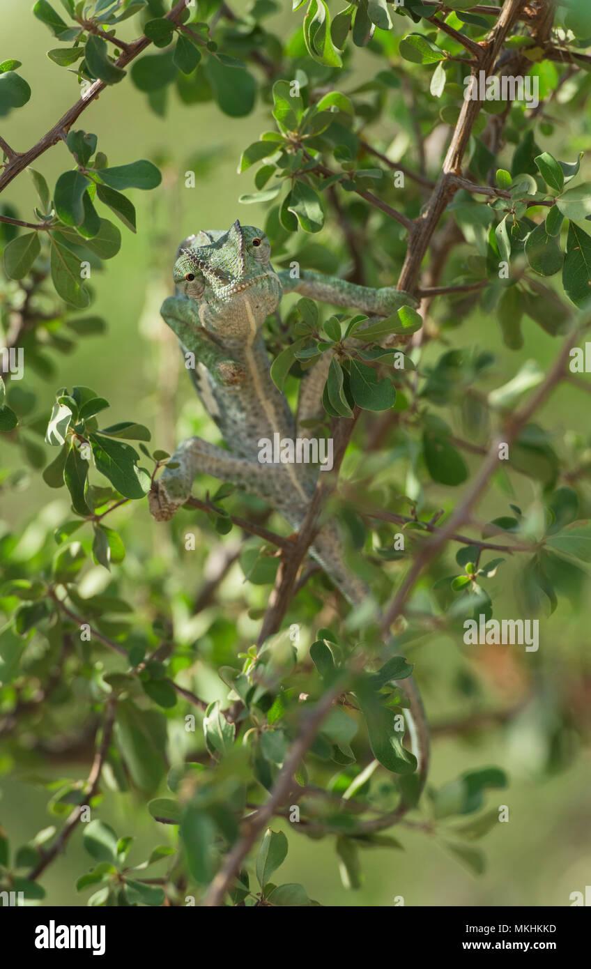 Flap-necked Chameleon (Chamaeleo Dilepis) im Bush, Südafrika, Mapungubwe National Park Stockbild
