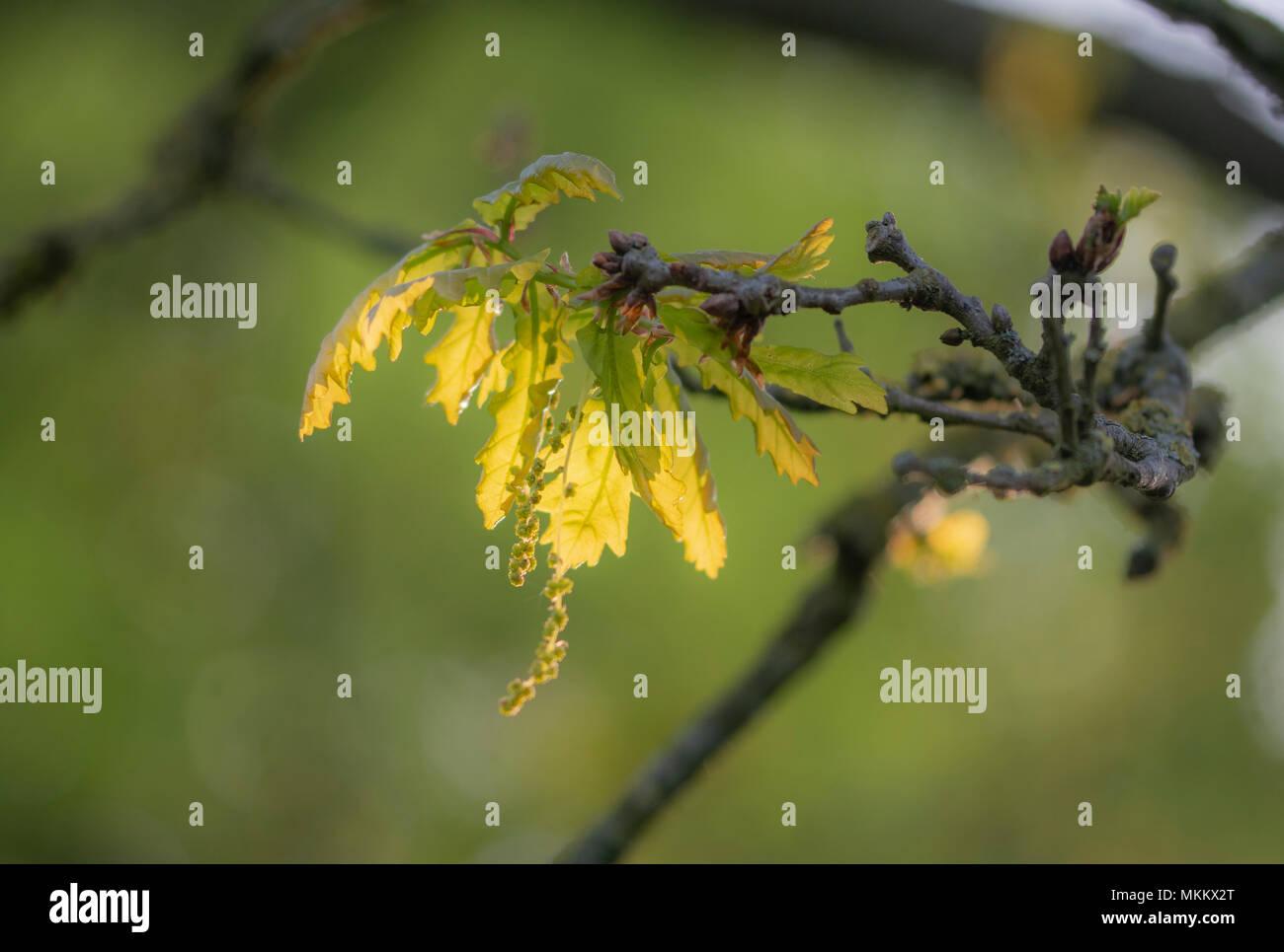 Neue, frische Blätter in den frühen Morgen Sonnenschein Stockbild