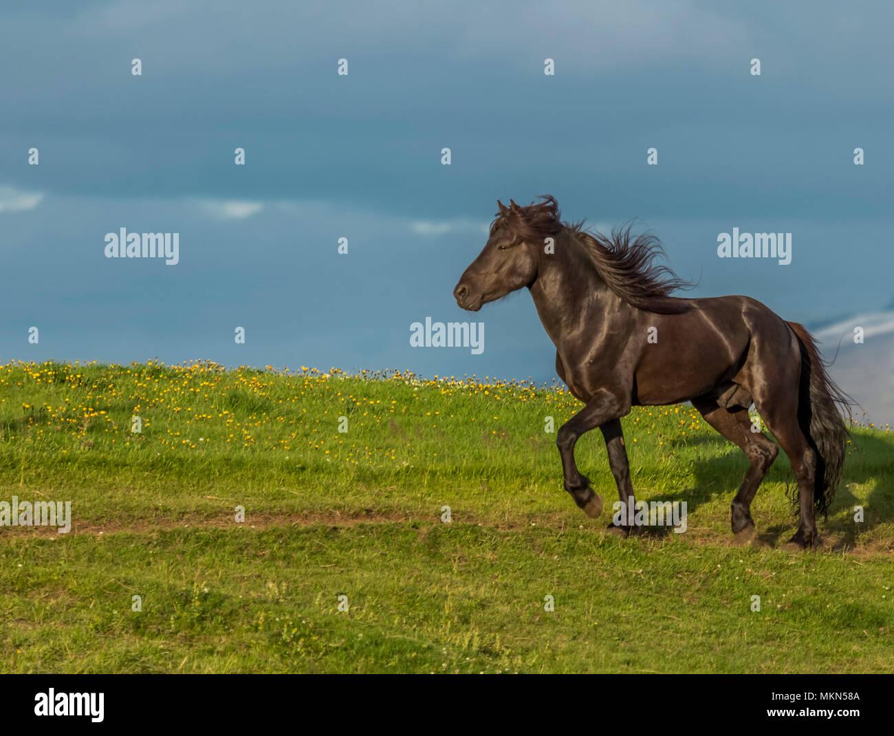 Isländische Pferd, Island Stockbild